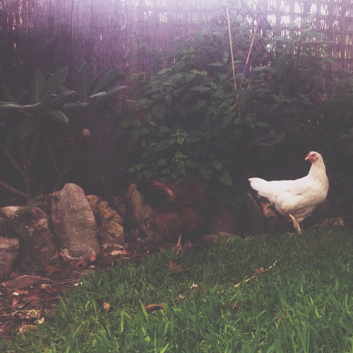 PJB_lalywithchickens2014_2